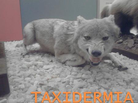 TAXIDERMIA.