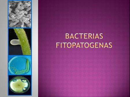 BACTERIAS FITOPATOGENAS