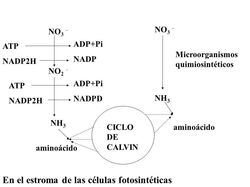 Incorporación del Nitrógeno atmosférico N2N2 NH 3 Eucariotas no Cianobacterias; libres o asociadas a hongos: líquenes Bacterias heterótrofas como Azotobacter (O 2 ) o Clostridium (sin O 2 ) Bacterias heterótrofas simbiosis nitrogenasa Rhizobium – leguminosas.