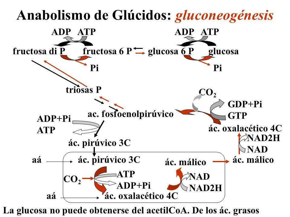 Anabolismo de glúcidos: glucogenogénesis pirúvico gliceraldehido P fructosa di P glucosa 6 P glucosa 1 P ADP-glucosa UDP-glucosa glucosa glucógeno (n glucosas) glucógeno (n+1 glucosas) Almidón (n glucosas) Almidón (n+1 glucosas) Ciclo de Calvin 6GAP UTP sacarosa UTP ADP ATP célula vegetalcélula animal