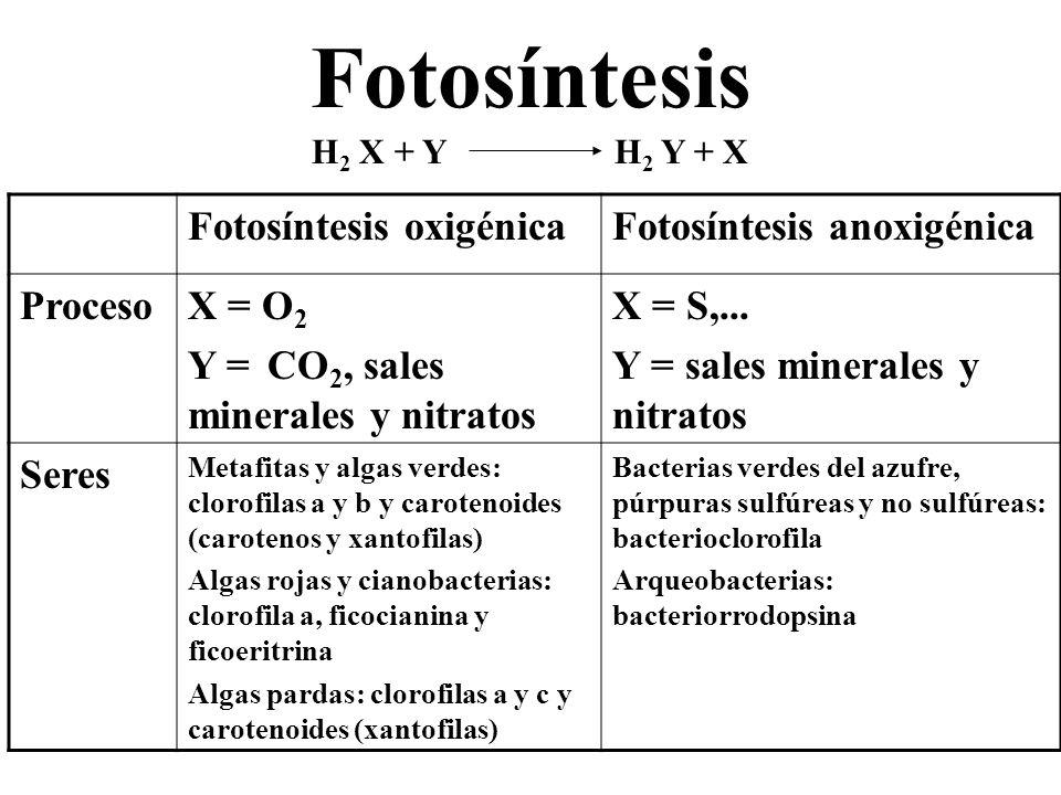 Fotosíntesis oxigénica Reacción general: H 2 O + CO 2 + Luz + clorofila (CH 2 O) + O 2 + H 2 O 6H 2 O + 6CO 2 + Luz + clorofila C 6 H 12 O 6 + 6O 2 + 6H 2 O Etapas: Fase lumínica: fotolisis del agua y fotofosforilación; obtención de energía, moléculas reductoras y oxígeno.