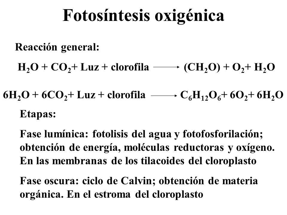 Los fotosistemas Potencial redox electropositivo Potencial redox electronegativo P AD D, dador de e - P, pigmento: clorofila a y proteínas A, aceptor de e - FS II H2OH2O λ = 680 nmQ FS I Plastocianina λ = 700 nmX Antena: pigmentos (clorofilas, carotenos, xantofilas,...), lípidos y proteínas.