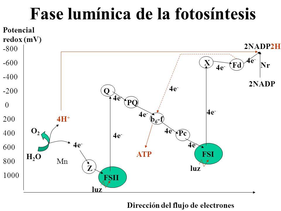 Rendimiento de la fase lumínica Gasto: 2 moléculas de agua Luz 2 moléculas de NADP 1 molécula de ADP + Pi Rendimiento: 2 moléculas de NADP2H 1 molécula de ATP Gasto: Luz 1 molécula de ADP + Pi Rendimiento: 1 molécula de ATP Proceso no cíclico Proceso cíclico