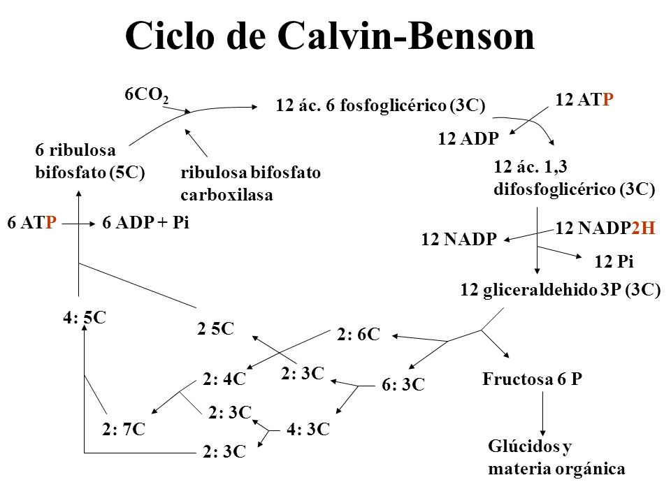 Modificaciones del ciclo de Calvin Fotorrespiración: ambiente cálido y seco.