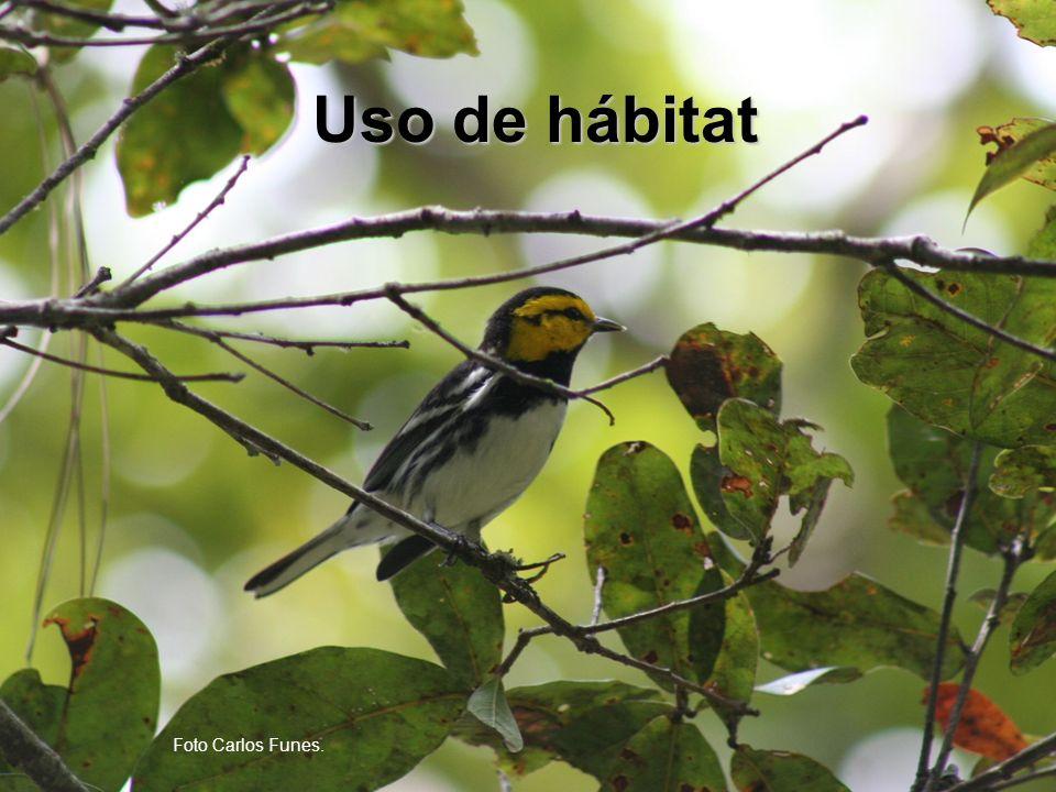 Uso de habitat Variable sexo/edadNPromedioDev-Est Altura del árbol, m Macho11913.67.3 Hembra5214.88.6 Inmaduro4012.36.2 Altura del ave, m Macho11910.55.5 Hembra51116.8 Inmaduro409.95.5 Distancia del tronco, m Macho942.62.8 Hembra442.23.6 Inmaduro372.93 Distancia de la orilla, m Macho891.11.5 Hembra381.2 Inmaduro370.51.3 P<0.01 Segregación de inmaduros de adultos en los árboles puede deberse a (1) procesos de selección natural, (2) exclusión por parte de los adultos, (3) sesgos de los observadores.