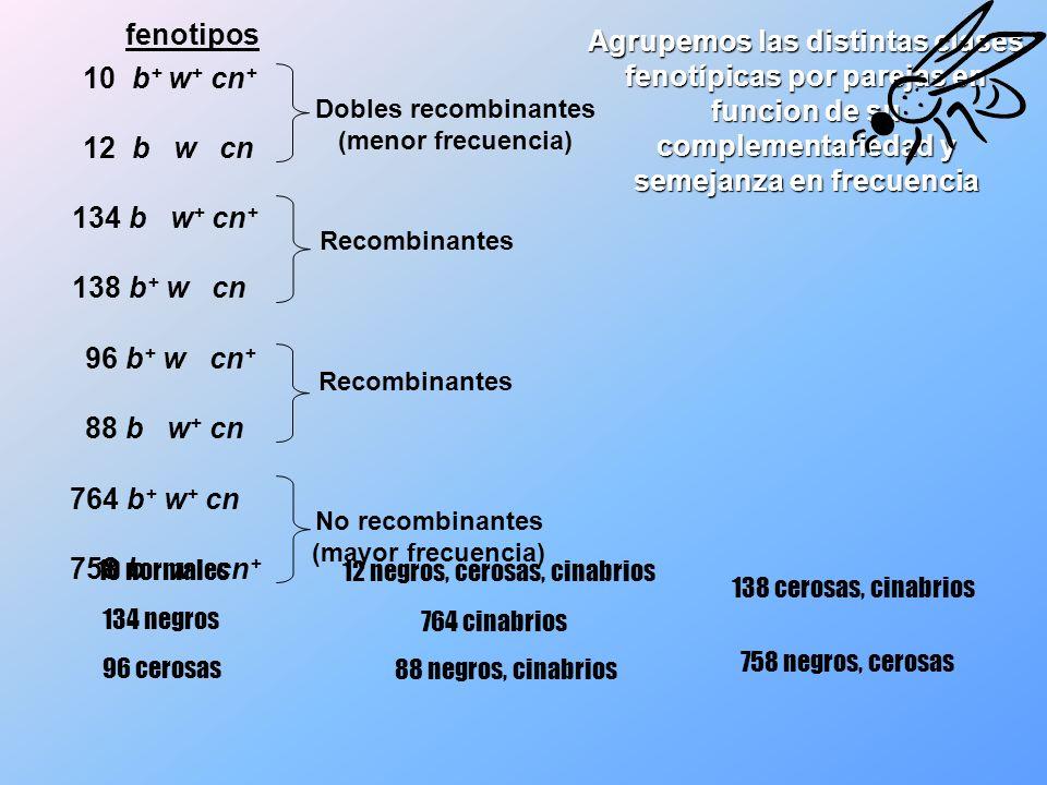 b + w + cn + b w cn b + w + cn b w cn + b + cn w + b cn + w b + cn + w + b cn w Recombinantes 764 b + w + cn 758 b w cn + La distribución de los alelos entre los dos cromosomas de las hembras del cruzamiento prueba es Las clases no recombinantes nos indican la disposicion de los alelos en las hembras triple heterocigotas parentales El gen que aparece intercambiado (cn) es el que se sitúa en posición central Comparamos el genotipo de estas hembras con los fenotipos dobles recombinantes para determinar qué par génico ocupa la posición central 10 b + w + cn + 12 b w cn 134 b w + cn + 138 b + w cn 96 b + w cn + 88 b w + cn No recombinantes (mayor frecuencia) Dobles recombinantes (menor frecuencia) b + cn w + b cn + w III