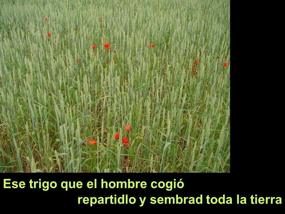 Ese trigo que el hombre cogió repartidlo y sembrad toda la tierra