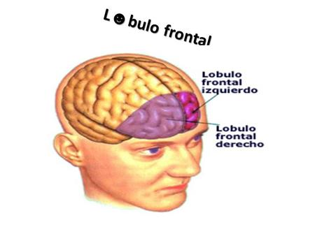 L☻bulo frontal.
