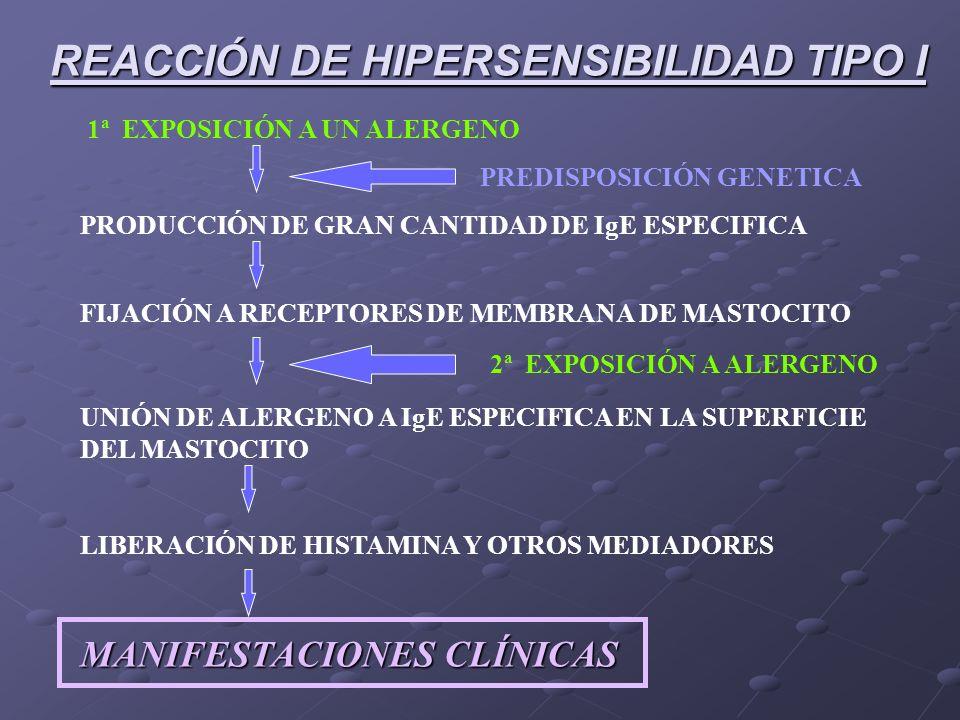 REACCIÓN DE HIPERSENSIBILIDAD TIPO I 1ª EXPOSICIÓN A UN ALERGENO FIJACIÓN A RECEPTORES DE MEMBRANA DE MASTOCITO UNIÓN DE ALERGENO A IgE ESPECIFICA EN LA SUPERFICIE DEL MASTOCITO LIBERACIÓN DE HISTAMINA Y OTROS MEDIADORES MANIFESTACIONES CLÍNICAS PRODUCCIÓN DE GRAN CANTIDAD DE IgE ESPECIFICA PREDISPOSICIÓN GENETICA 2ª EXPOSICIÓN A ALERGENO