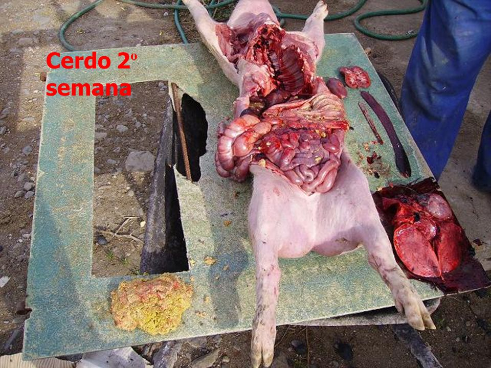 29-Nov-2006Agropecuaria Obanos Cerdo 2 º semana