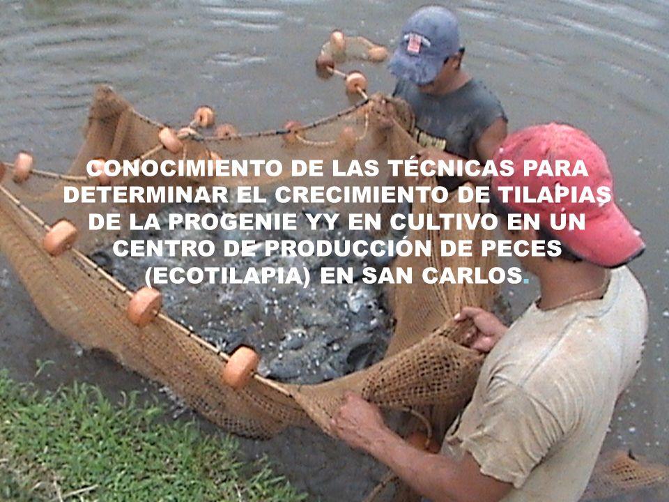 OBJETIVOS Objetivo General Determinar el crecimiento de la progenie YY de tilapia niloticus sp en estanques de cultivo.