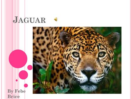 J AGUAR By Febe Brice. Hello I'm Jana the Jaguar. I'm here to tell you all about Jaguars. My kind are often mistaken for the leopard. We have spots like.