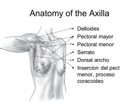 Anatomy of the Axilla Deltoides Pectoral mayor Pectoral menor Serrato Dorsal ancho Insercion del pect menor, proceso coracoideo.