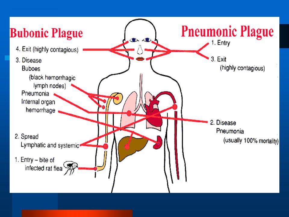 MECANISMO DE TRANSMISION Xenopsilla cheonis Picadura Roedor susceptible Roedor infectado PICADURAPICADURA Pulga de rata