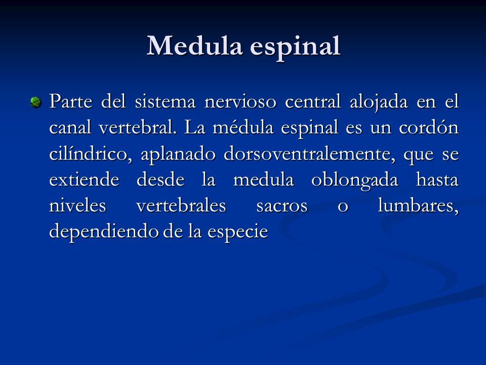 Configuración externa Porción cervical: parte de la medula donde se derivan los nervios cervicales.