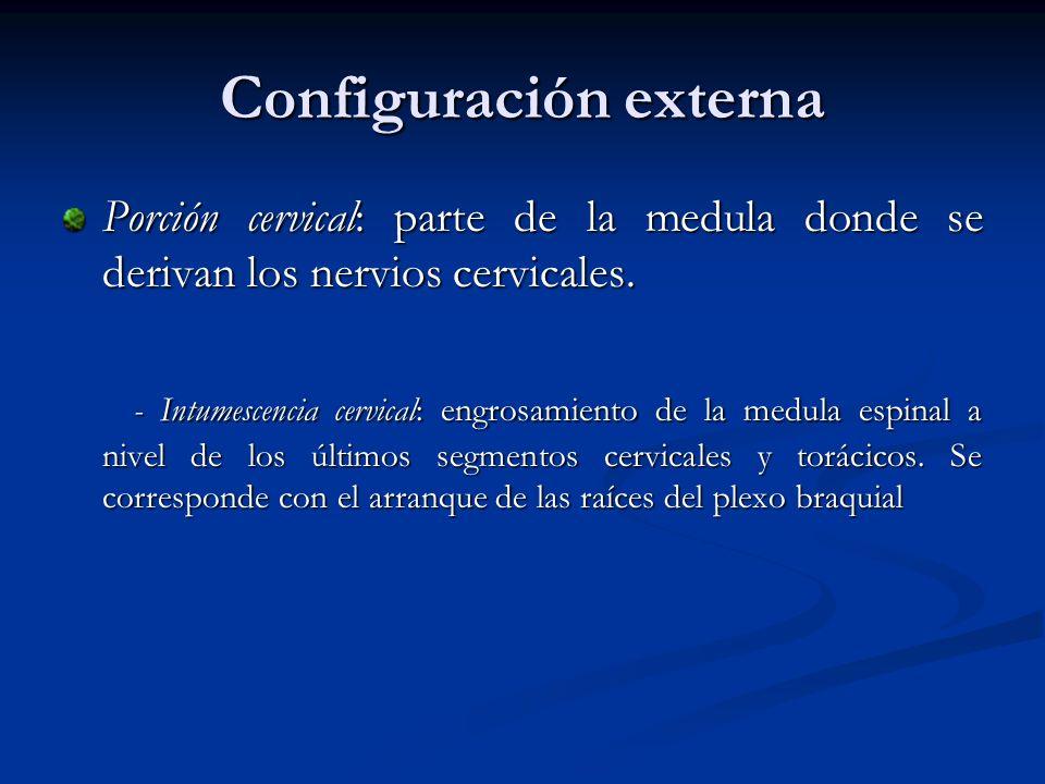 Porción torácica: parte de la medula espinal donde salen los nervios torácicos.