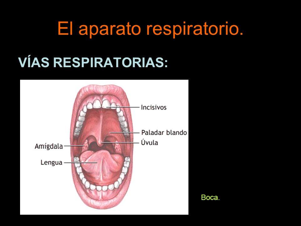 El aparato respiratorio. VÍAS RESPIRATORIAS: Faringe.