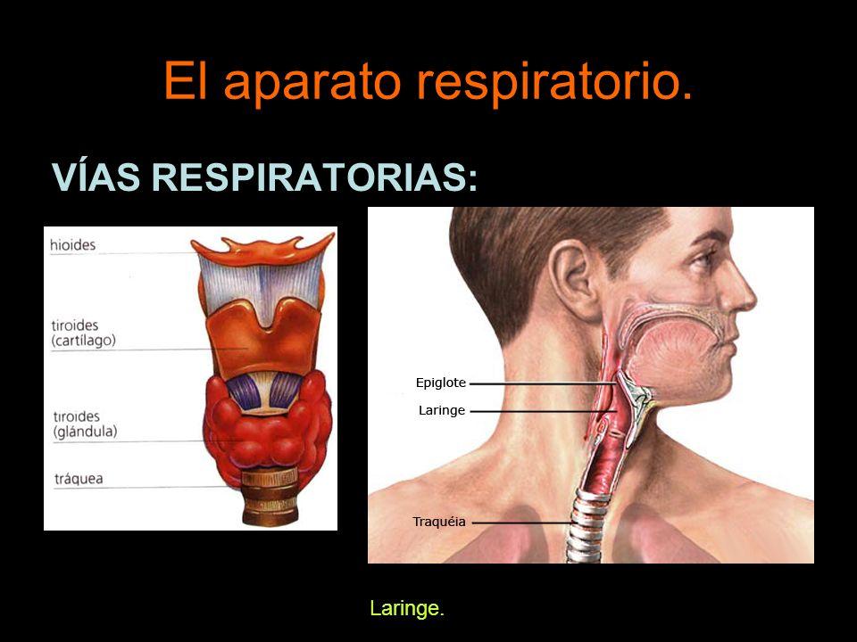 El aparato respiratorio.VÍAS RESPIRATORIAS: Bronquios.