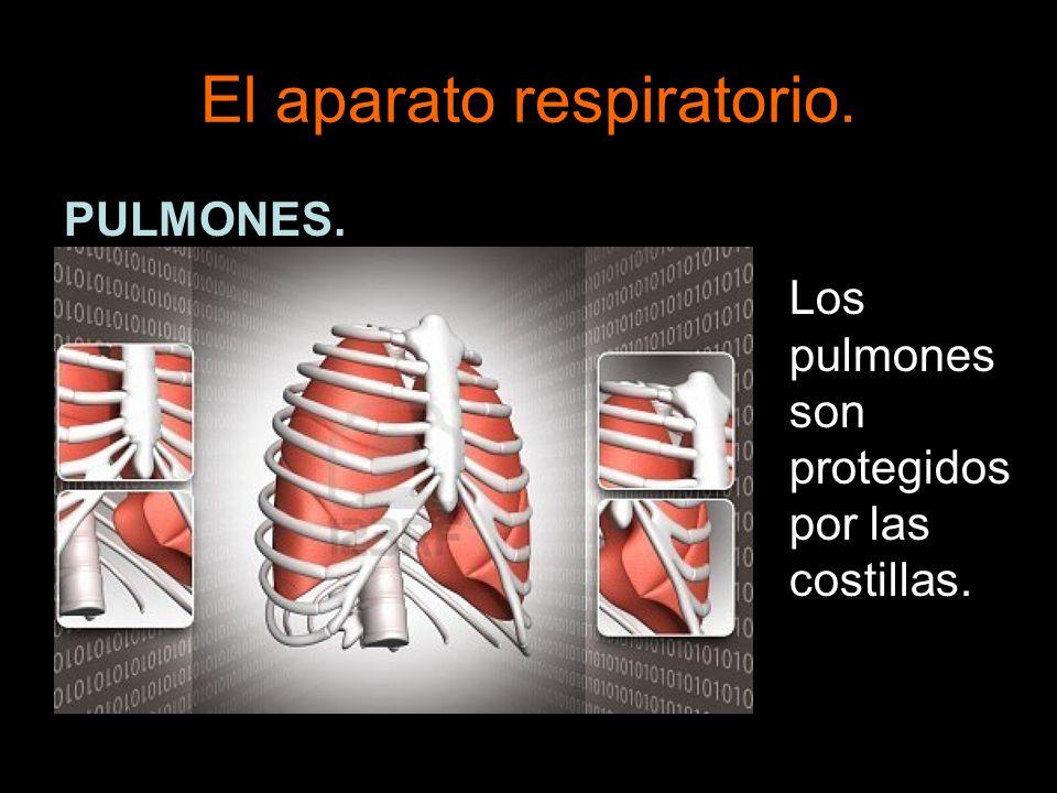 El aparato respiratorio.PULMONES.
