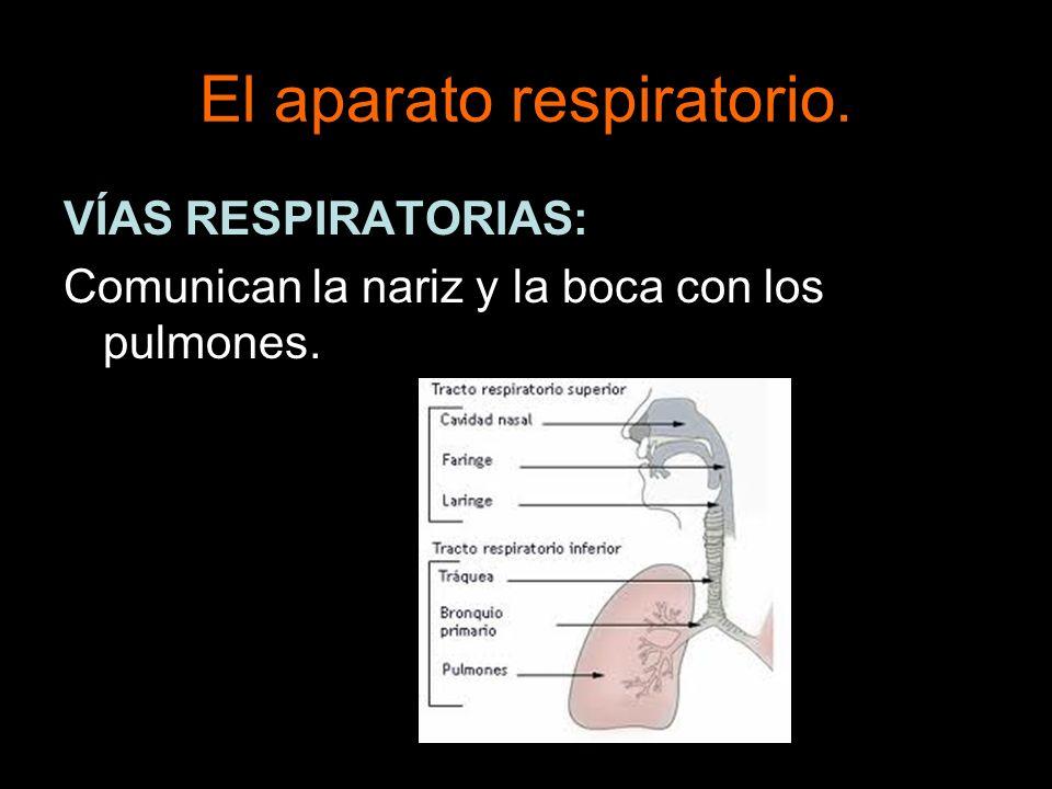 El aparato respiratorio.VÍAS RESPIRATORIAS: Están formadas por: Fosas nasales.