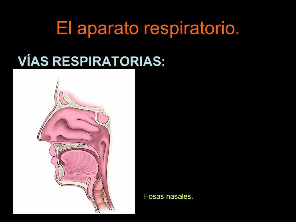 El aparato respiratorio. VÍAS RESPIRATORIAS: Boca.