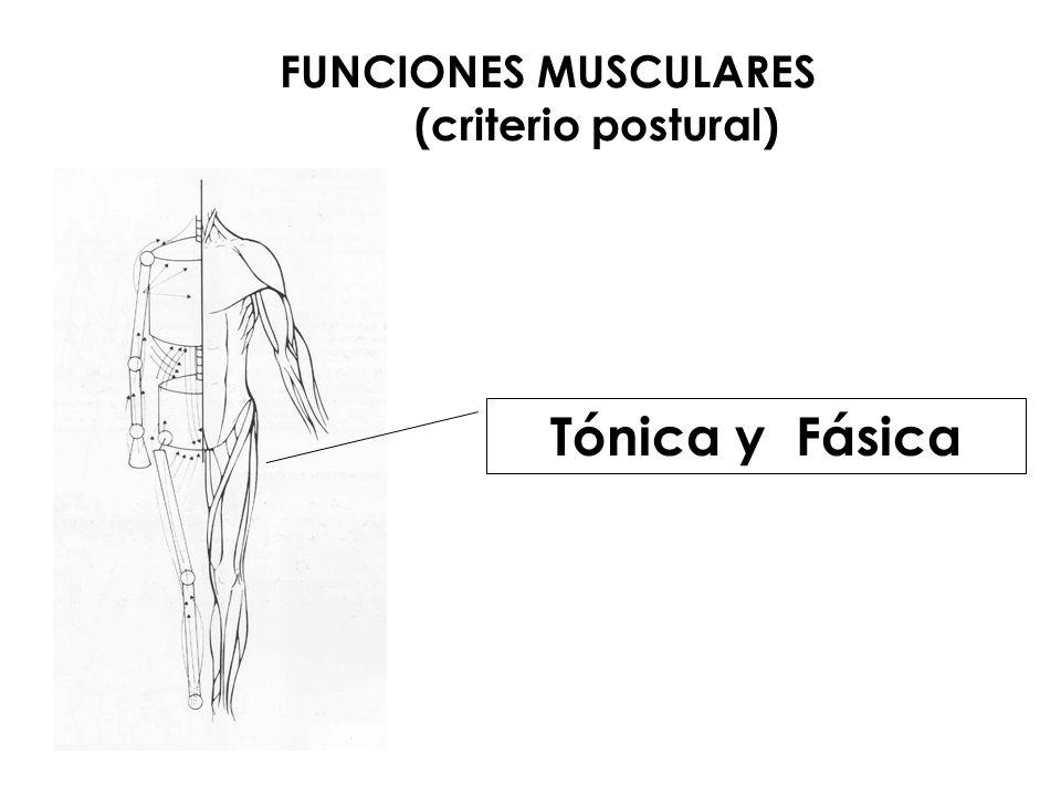 FUNCIONES MUSCULARES (criterio mecánico) Agonista. Antagonista. Sinergista. Fijadora.