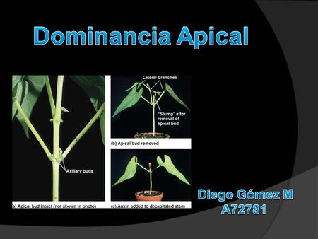 Dominancia Apical Diego Gómez M A72781.