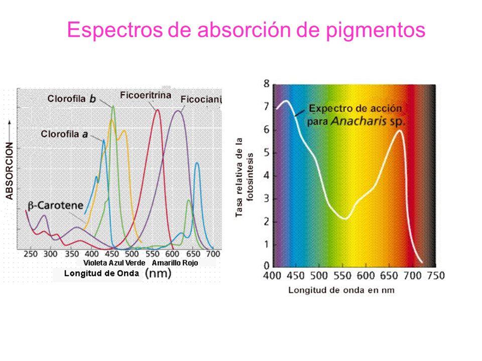 La fase luminosa Los principales acontecimientos que ocurren en la fase luminosa se podrían resumir de la siguiente manera: a- Síntesis de ATP o fotofosforilación que puede ser: –acíclica o abierta –cíclica o cerrada b- Síntesis de poder reductor NADPH c- Fotólisis del agua