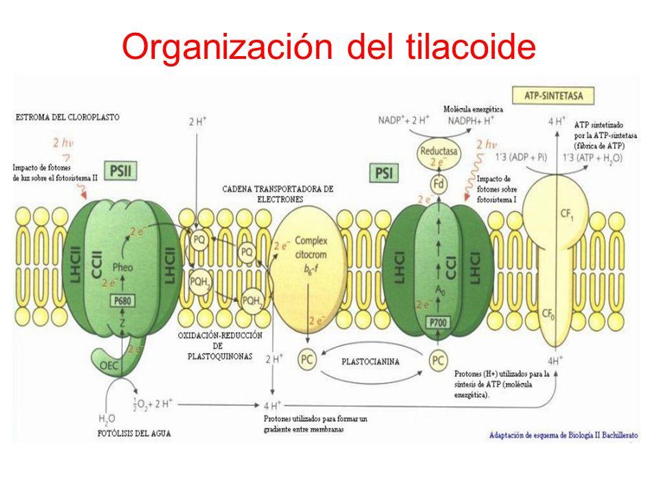 Los fotosistemas: son organizaciones de pigmentos y proteínas que se localizan en los tilacoides.
