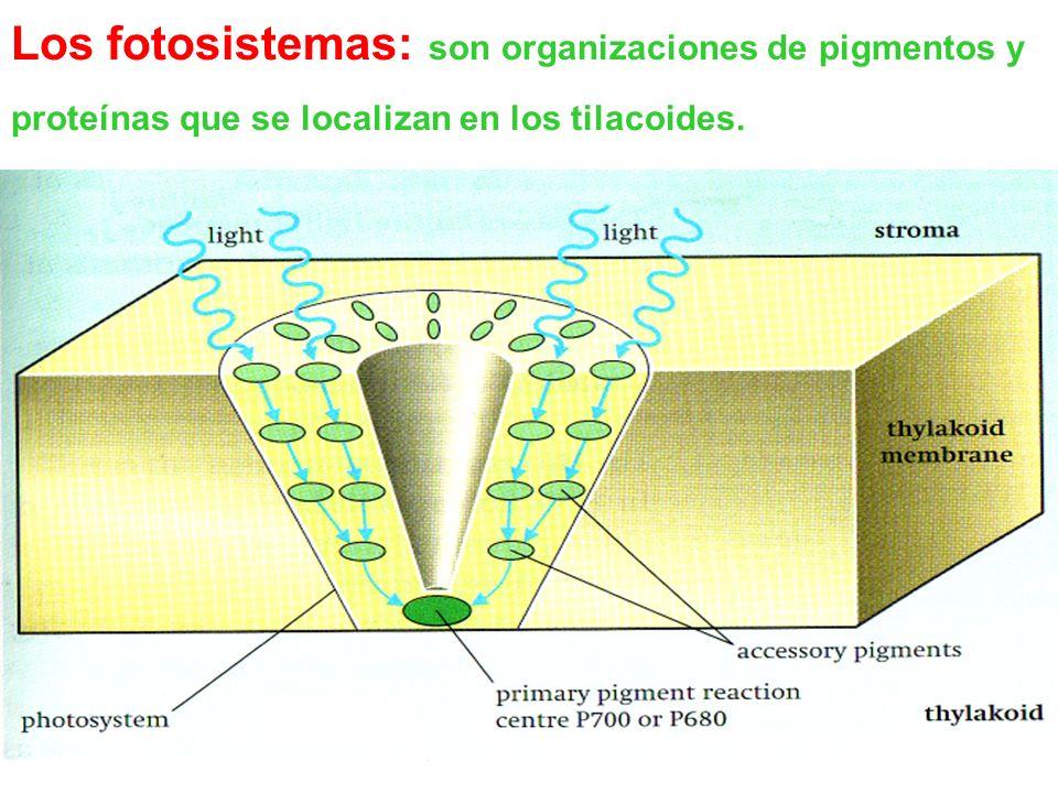 Fotón Ruptura de agua Fotosistema II Producción de NADPH Fotosistema I ATP Dos tipos de fotosistemas operan coordinadamente en la fase lumínica de la fotosíntesis