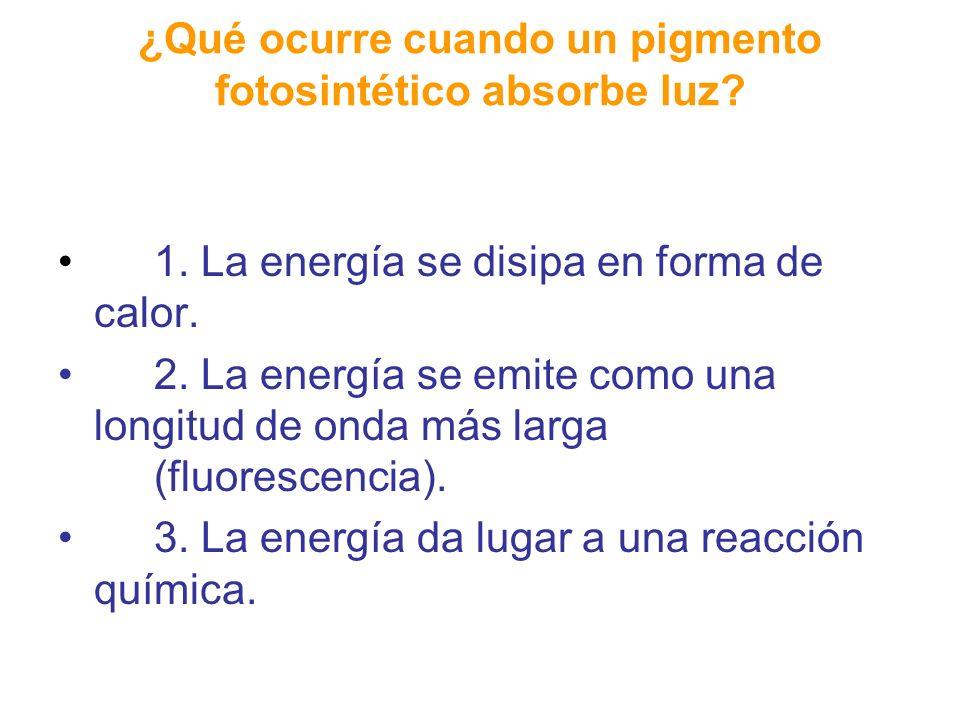 Estado excitado e Calor Luz Fotón Fluorescencia Molecula de clorofila Estado basal 2 (a) Absorcón de un foton (b) Fluorescencia de una soluciòn de cloriofila aislada Excitación de la clorofila La pérdida de energía debido al calor ocasiona que los fotones sean menos energéticos.