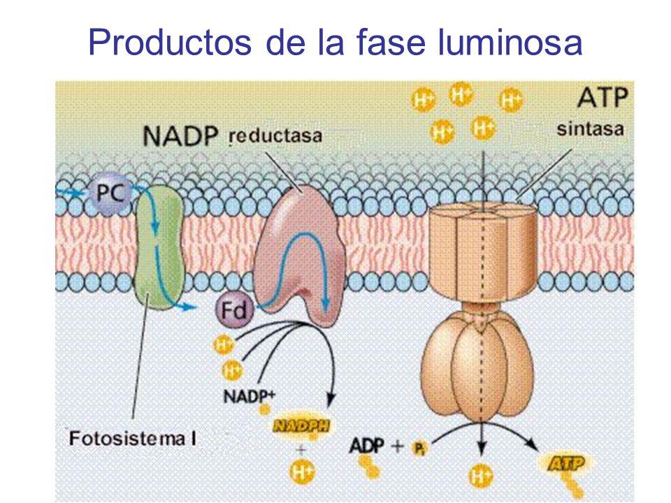 Síntesis de ATP: ATP sintasa ATP sintasa 3H + 1ATP 1NADPH 6H + 2ATP