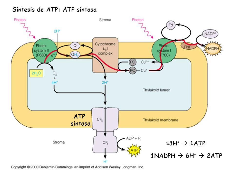 La producción de ATP según la teoría quimiosmótica Lumen tilacoidal (Alto H + ) Membrana tilacoidal Estroma (Bajo H + ) LUZ Antena LUZ CADENA DE TRANSPORTE ELECTRÓNICO FOTOSISTEMA IIFOTOSISTEMA IATP SINTASA