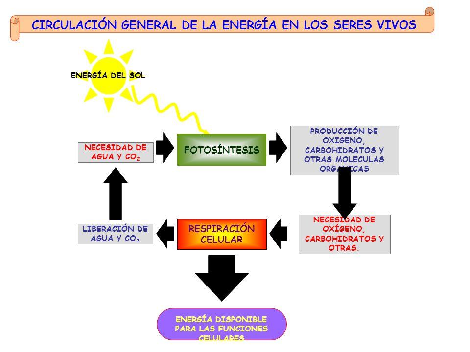 REGENERACIÓN DEL RECEPTOR DEL CO 2 FIJACIÓN DEL CO 2 REDUCCIÓN Fotosistema I Fotosistema IIFotosistema I e- H2OH2O O2O2 H+H+H+H+ + Fotón e- ADP + Pi ATP Fotón e- Fotón e- ADP + Pi ATP e- NADP + H+H+H+H+ + + H+H+ NADPH Cadena de transporte electrónico FLUJO DE ELECTRONES NO CÍCLICO FLUJO DE ELECTRONES CÍCLICO 3 x CO 2 P 1 x gliceraldehido 3-fosfato + H+H+ 6 x NADPH 3 x ATP 6 X ATP 3 x ADP 6 x ADP 6 x Pi 6 x NADP GLUCOSA Y OTROS COMPUESTOS ORGÁNICOS FASE OSCURA - CICLO DE CALVIN 6 x 1,3-bifosfoglicerato PP 6 x gliceraldehido 3-fosfato P 6 x 3-fosfoglicerato P 3 x ribulosa 1,5 bifosfato P P 5 x gliceraldehido 3-fosfato P FASE LUMINICA