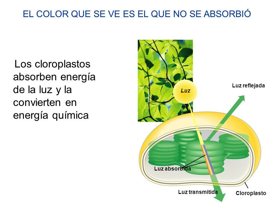 Localización y estructura del cloroplasto SECCION TRANSVERSAL DE HOJA CELULA DE MESOFILO HOJA Cloroplasto Mesòfilo CLOROPLASTO Espacio intermembranal Membrana externa Membrana interna Compartimento tilacoidal Tilacoide Estroma Granum EstromaGrana