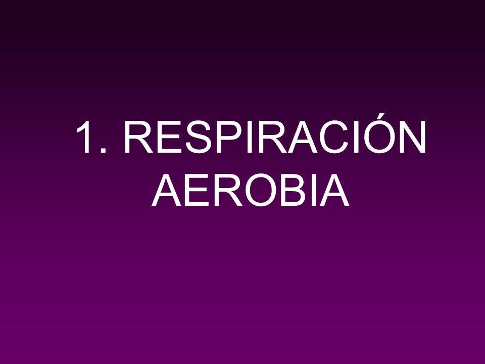 La respiración aerobia incluye el conjunto de rutas metabólicas por las que las biomoléculas orgánicas son oxidadas completamente, produciendo energía, H2O y CO2, siendo el oxidante utilizado es el oxígeno molecular.