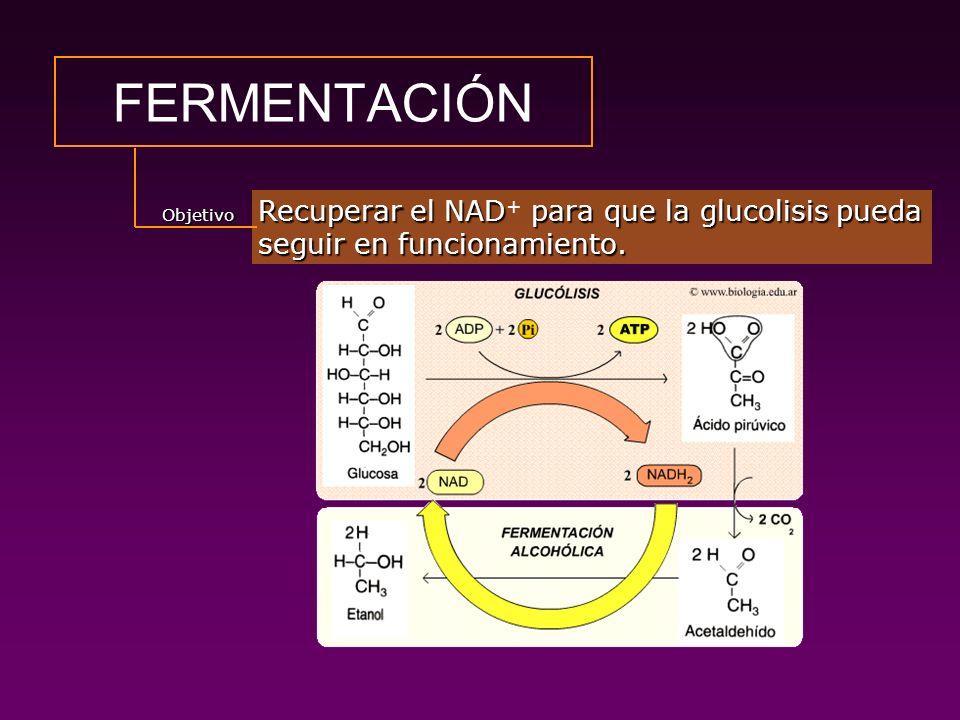 A.1.FERMENTACIÓN ALCOHÓLICA Formar etanol a partir de ácido pirúvico para reoxidar el NADH.