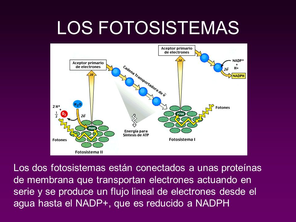 FUNCIONAMIENTO DE LOS FOTOSISTEMAS FOTOSISTEMA II FOTOSISTEMA I