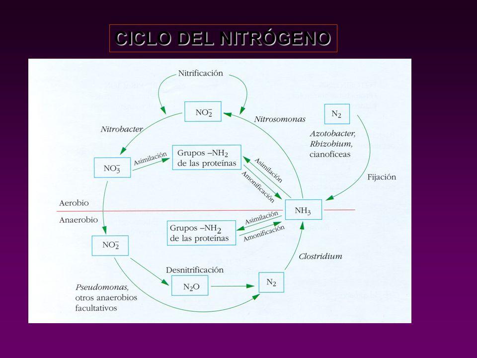 BACTERIAS QUIMIOSINTÉTICAS DEL AZUFRE REACCIONES DE OXIDACIÓN SoSo H2SH2S S 2 O 3 2- (tiosulfato) H 2 SO 4 H 2 S + 2 O 2 SO 4 2- + 2 H + S 2 O 3 2- + H 2 O SO 4 2- + 2 H + Puede desalcalinizar suelos (Desulfovibrio)