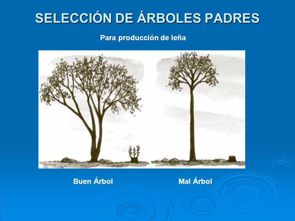 SELECCIÓN DE ÁRBOLES PADRES Para producción de forraje Buen Árbol Mal Árbol