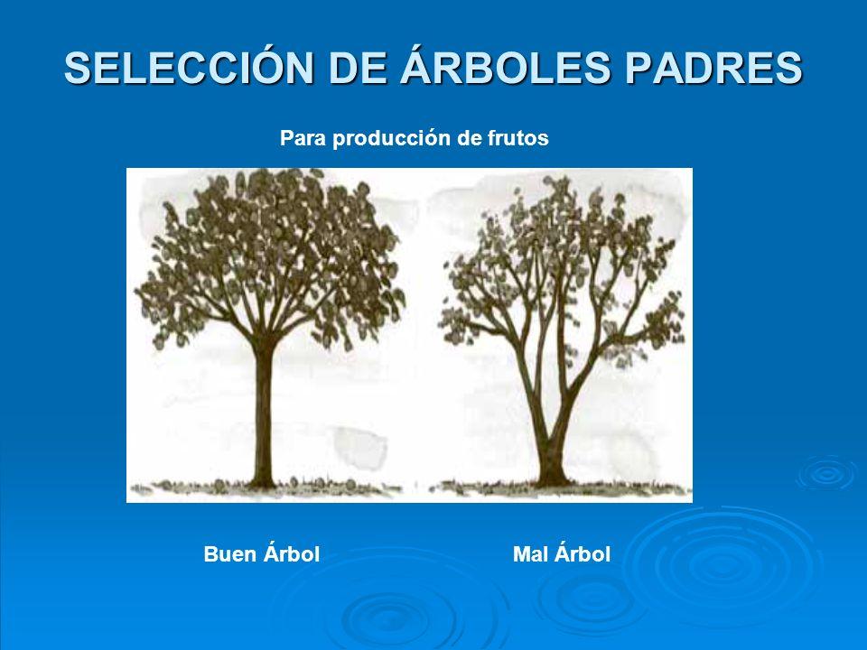 MÉTODOS DE RECOLECCIÓN Generalmente se hace a mano, directamente del árbol o del suelo, o por medio de instrumentos especiales denominados cortadores o descopadores, los cuales pueden ser de diferentes tipos y tamaños.