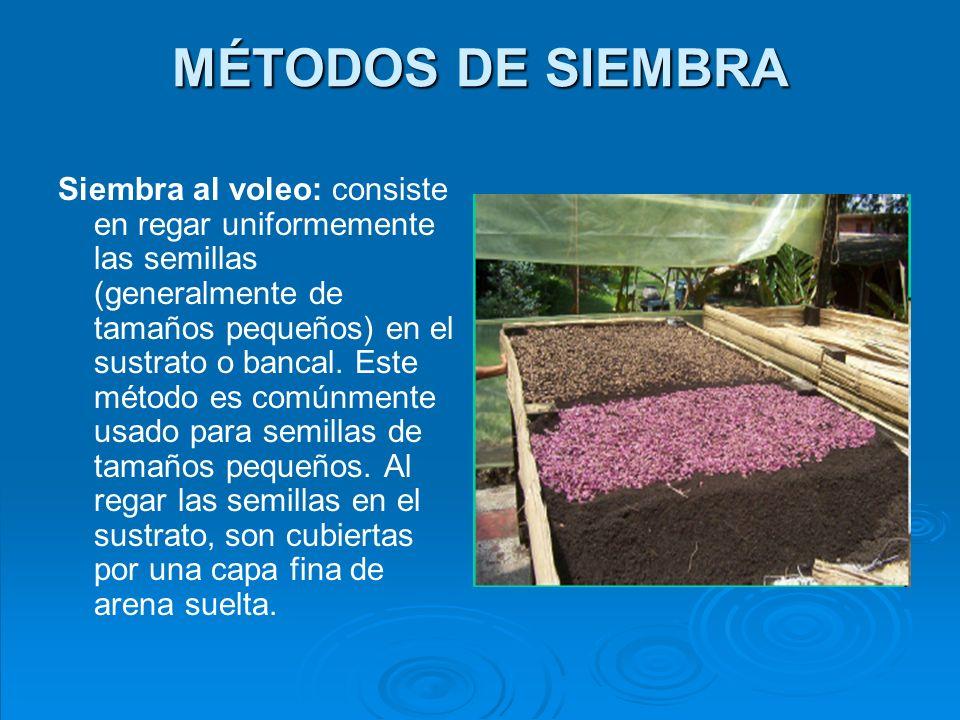 MÉTODOS DE SIEMBRA Siembra al voleo en surcos: consiste en regar las semillas de tamaños pequeños, en surcos o canales hechos en el sustrato o bancal.