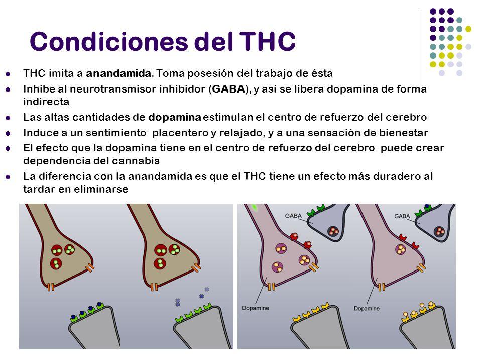 Otras consecuencias Memoria a corto plazo (hipocampo) Hambre (hipotálamo) Coordinación y equilibrio (cerebelo) Equilibrio – movimientos involuntarios – (ganglios basales) Percepción (neocorteza) *Efectos debidos al THC sobre los receptores CB1 en cada uno de los lugares anteriores.
