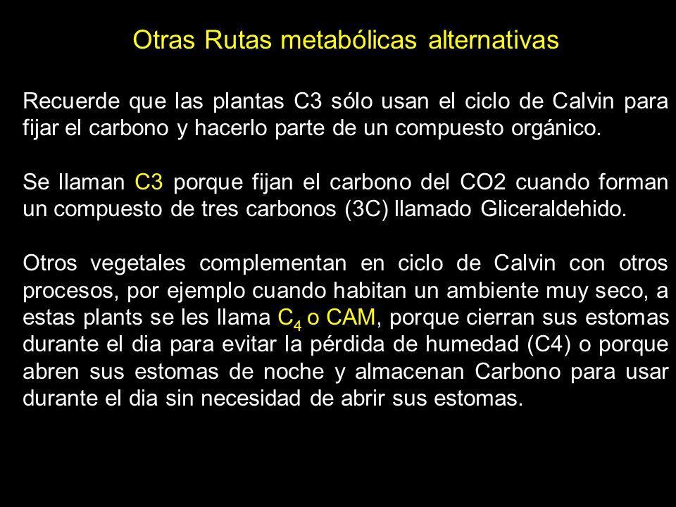 Las plantas C4 forman un compuesto de 4 carbonos llamado oxalacetato que almacena carbono para entregar al ciclo de Calvin.