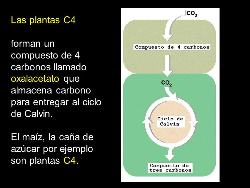 Las plantas CAM Abren sus estomas sólo de noche para evitar la pérdida de agua por los estomas durante el dia.