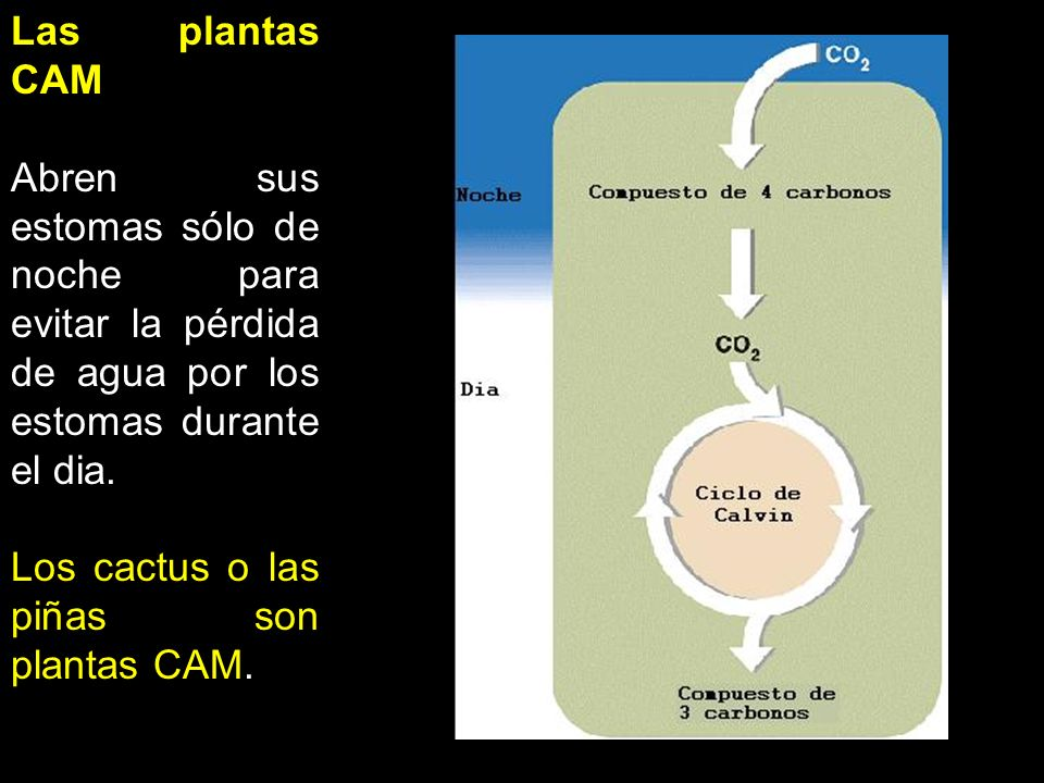 Rango de eficacia de la fotosíntesis La fotosíntesis se incrementa en la misma forma como lo hace la intensidad lumínica o la concentración de CO2, Aunque eventualmente existe un límite para este incremento Sobre una cierta temperatura a mayor temperatura mayor es la velocidad de la fotosíntesis, Aunque más allá de cierta temperatura la fotosíntesis disminuye