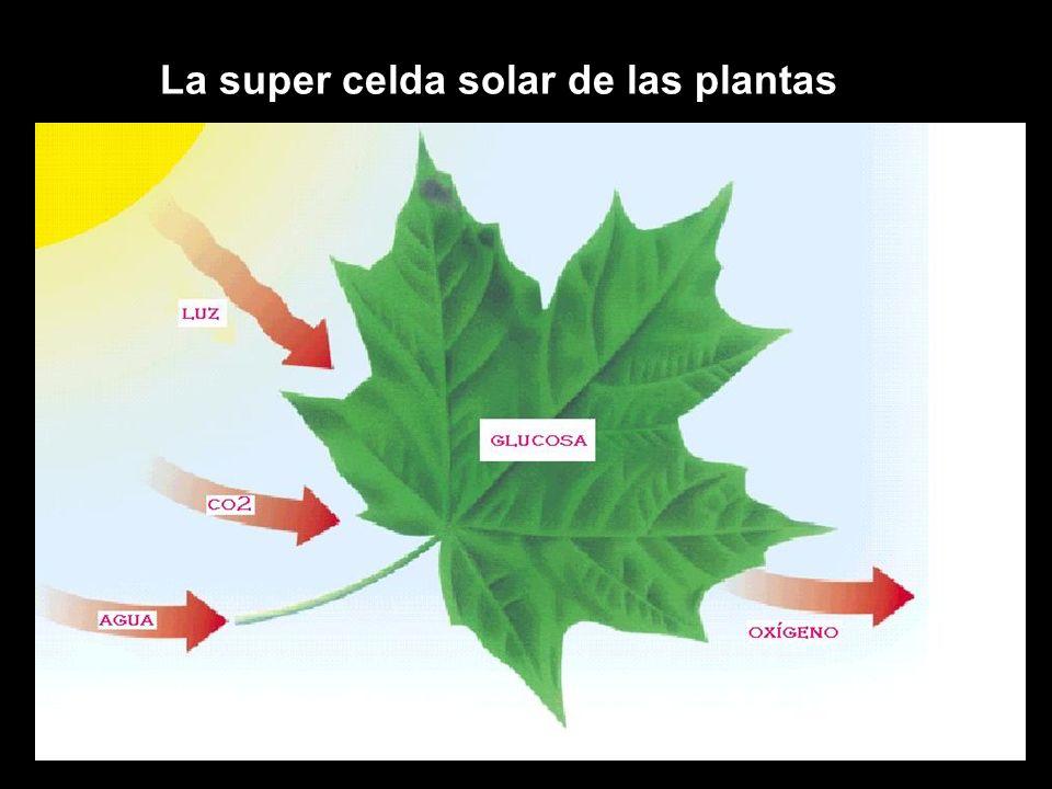 Agua CO 2 Luz solar Oxígeno Fotosíntesis Azúcares Respiración celular Energía (ATP)