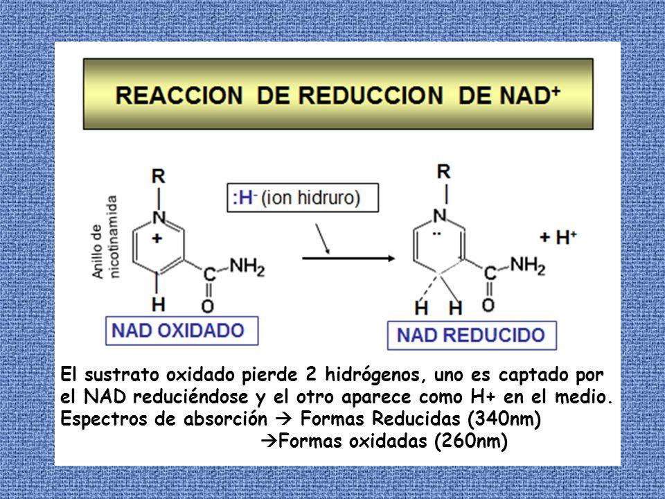 Estas coenzimas derivan de la vitamina riboflavina.