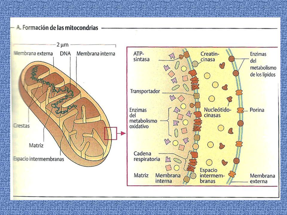 CADENA DE TRANSPORTE ELECTRONICO Los componentes de la cadena se encuentran en la membrana mitocondrial interna.