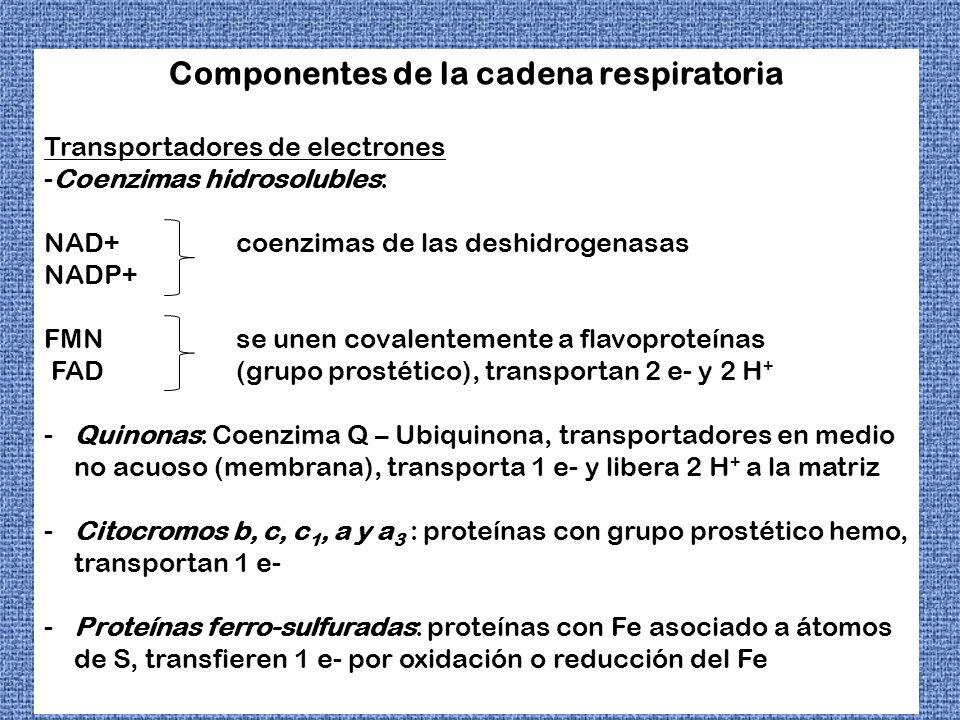 Componentes de la Cadena de transporte electrónico Complejo enzimático Grupos prostéticos Complejo I (NADH deshidrogenasa) FMN, FeS Complejo II ( succinato deshidrogenasa) FAD, FeS Complejo III (citocromo bc 1 ) Hemo, FeS Citocromo c Hemo Complejo IV (citocromo oxidasa) Hemo, Cu Complejo V (ATP sintasa)